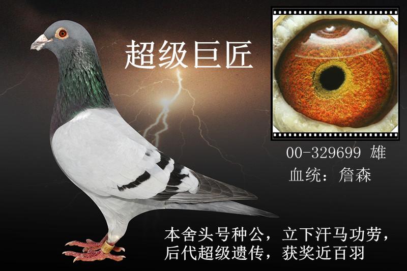 赛鸽,成绩鸽,血统鸽