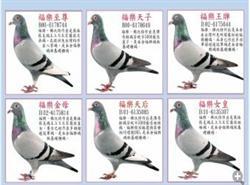 芬尼卡5000原环种鸽