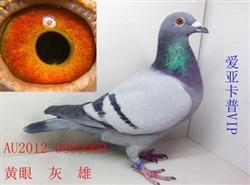 最新代理回北京中美格林豪斯鸽业种鸽