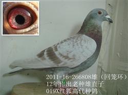 因要搬家优惠转让高级种鸽,明码标价400——1000元。