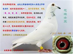 好消息:台海信鸽东北网,最新上传一批全部调养完毕,来年直接就可做种的百里挑一精品台