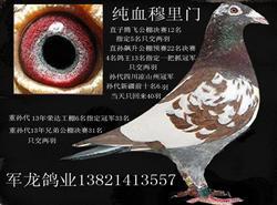 天津军龙鸽业鸽舍搬迁低价转让种鸽