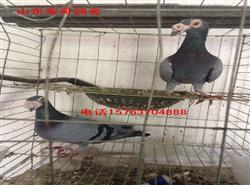 山东宪哥鸽舍常年出售鼻子鸽,观赏鸽