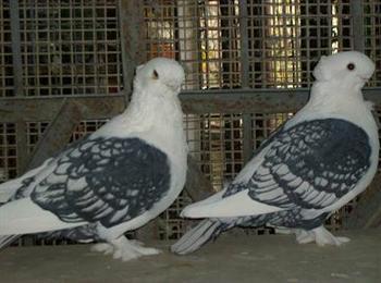 种鸽肉鸽观赏鸽观赏鸽养殖场观赏鸽品种价格