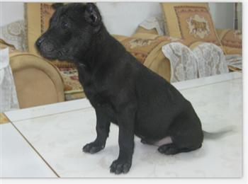 护鸽犬台湾土犬幼犬出售