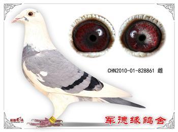 北京军德缘鸽舍快手直播免费送鸽子请关注