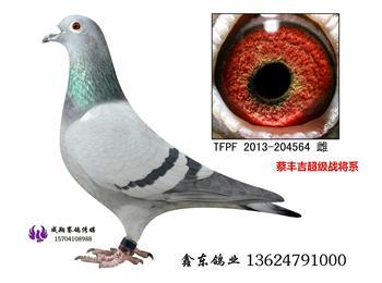 台湾赛鸽纪录片《赛鸽风云》主人公蔡丰吉实战种鸽