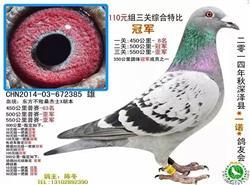 桑杰士种鸽分棚低价转让一批种鸽