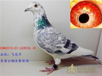 转让两只北京中美格林豪斯鸽业白花种鸽