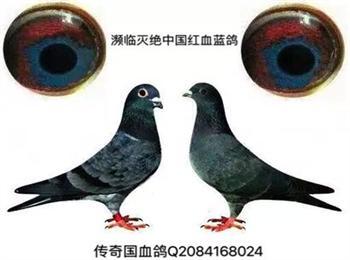 濒临灭绝老国血鸽中国红血蓝鸽与中国蓝鸽
