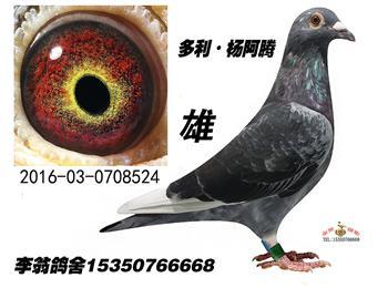 长期出售纯种多利杨阿腾,米歇尔杨阿腾