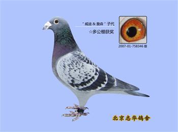 转让北京武志华纯血桑杰士瓦特凡龙等成绩鸽
