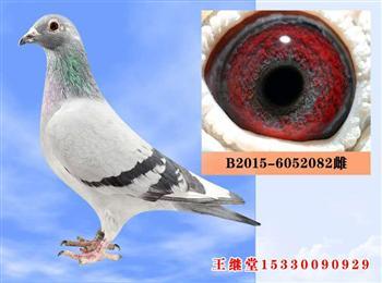 恩格斯原环种鸽8羽打包出售