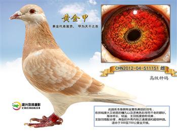 黄金甲优良种鸽销售