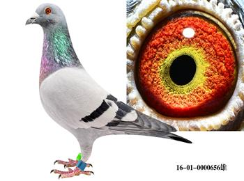 感谢鸽友们支持与关注北京赵银利鸽业实战种鸽网
