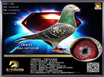 北京金马鸽业现有200羽种鸽出售