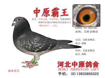 鸽舍搬迁,转让部分超远程国血近亲种鸽(吴淞、西翁)实战精品