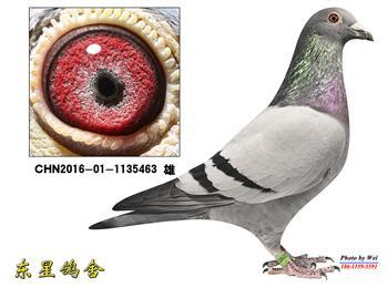 买一送一,因比赛棚空间有限,出售几只16年秋成绩鸽,买就送今年晚生幼鸽。
