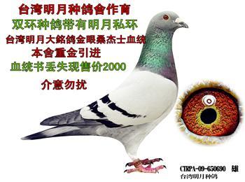 一线优秀种鸽,原环鸽,清棚出售