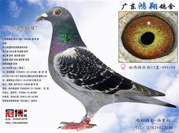 鸿翔鸽舍推出夏季优质种鸽买一送一活动!