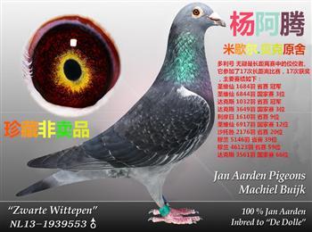 中国山东王鸿杨阿腾繁育中心--欢迎订购幼鸽
