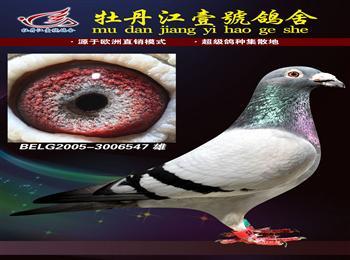 牡丹江壹�鸽舍展厅所有种鸽全部转让