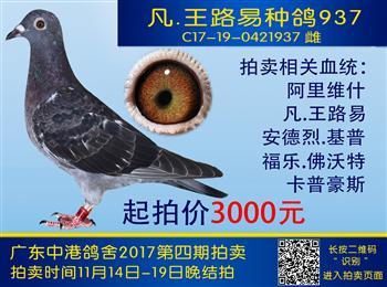 中港鸽舍实战鸽系第四期拍卖
