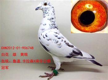 低价转让两只北京中美格林豪斯鸽业南非军团种鸽