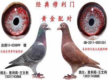 济南名家转让成绩种鸽及功勋种鸽(经典穆利门)