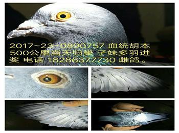 欢迎加入贵州省成绩鸽拍卖微信群