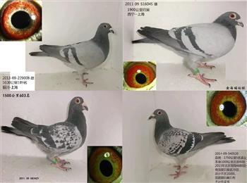 转让4只上海1000-1900公里归巢鸽