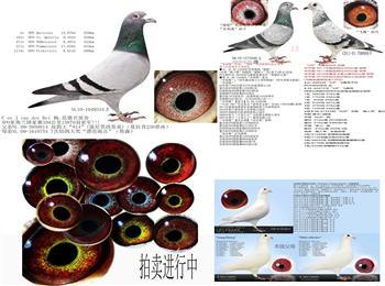 100%杨阿腾原棚鸽子代鸽原棚克拉克德国赛绩鸽正在出售