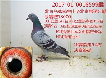 转让几只北京大棚赛鸽电话微信15896652278QQ8954900