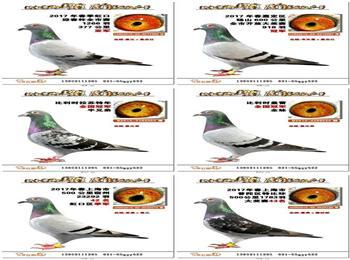 上海石明鸽舍18年推出部分品质优秀种鸽和少量赛绩鸽!!