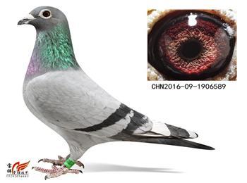 转让10只上海超远程血统种鸽