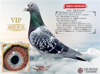 ¥¥《赛欧260万引进顶级种鸽出售》¥¥