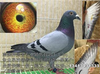 专业出售台鸽,质量保证。