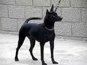 台湾土犬幼犬出售