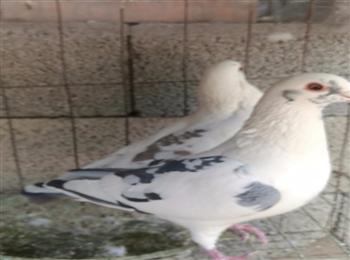 点子鸽多少钱一只点子鸽价格大量出货全国包邮