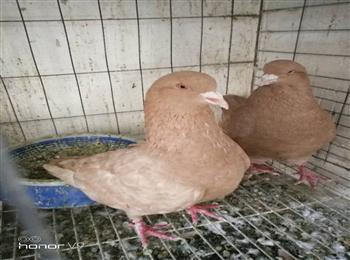中原跟头鸽多少钱一只中原跟头鸽价格