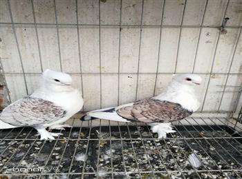 淑女鸽多少钱一只淑女鸽价格全国发货