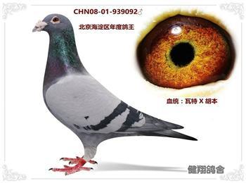 北京健翔鸽舍因鸽棚拆迁处理种鸽海淀区年度鸽王