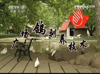 广场鸽投放驯养