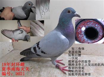 最新上传18年夏季南海灭关台鸽