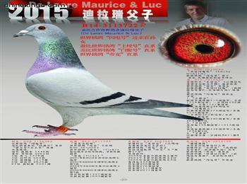 北京翼起点优惠转让成绩鸽原环鸽,家族发挥优异