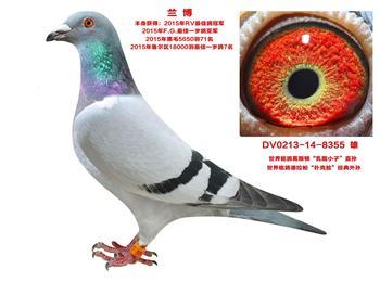 出售开尔原舍及原环种赛鸽多羽。