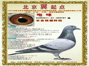 北京翼起点全棚转让成绩鸽种鸽,家族发挥优异