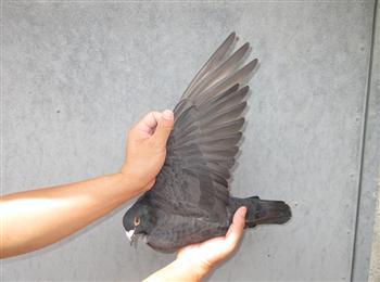 最新回来一批北海南海台鸽