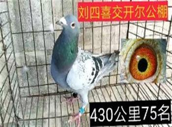 惠翔公棚,爱亚卡普公棚.开尔公棚多只封环鸽,北京圣翔鸽苑