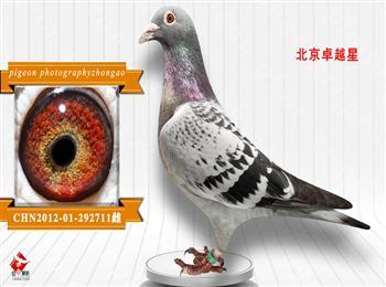 辽宁中奥摄影展售鸽一羽500三羽1000